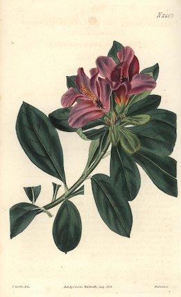 Cluster-flowered Indian azalea Azalea indica