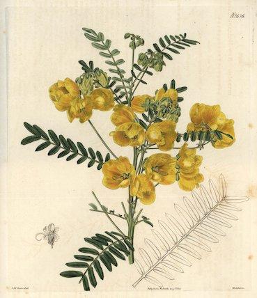 New Holland cassia Cassia australis