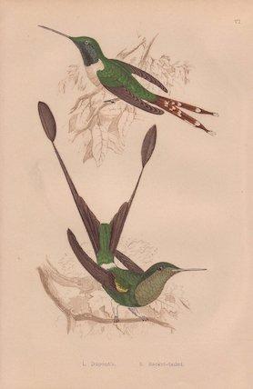 Dupont's hummingbird and Racket-tailed hummingbird
