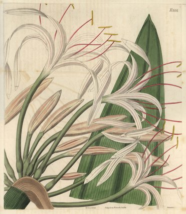 Tall rangoon crinum Crinum procerum White crinum lily with fine pink lines
