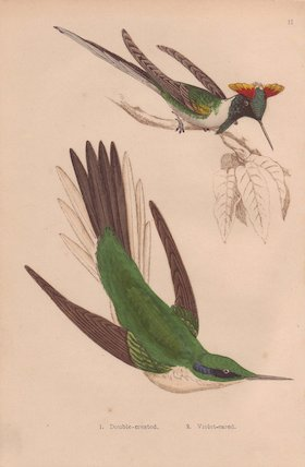 Double-crested and Green violet-ear hummingbird