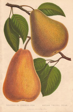 Ripe fruit and leaf of the Pear.