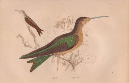 Pigmy hermit and giant hummingbird