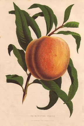 Ripe fruit and leaves of the Palmerston peach, Prunus persica.