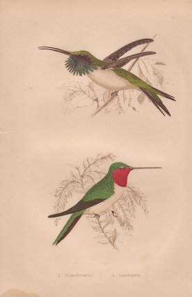 Ruby-throated and  Amethystine hummingbird