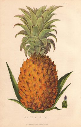Ripe fruit and leaves of the Queen Pine, Ananas sativus.