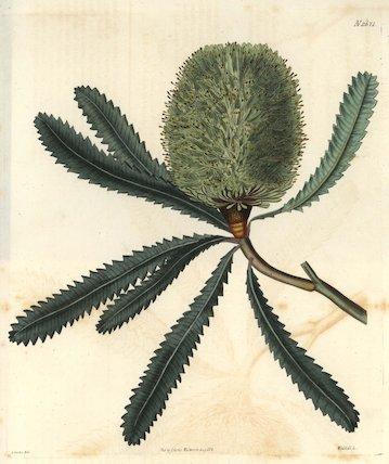 Rival banksia or Wallum banksia Banksia aemula (Banksia serrata)