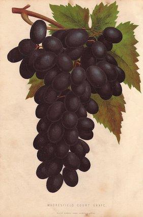 Ripe dark fruit and leaves of Madresfield Court Grape, Vitis vinifera.