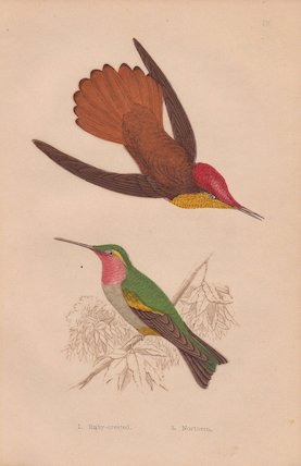 Ruby-crested hummingbird and northern or ruby-throated hummingbird