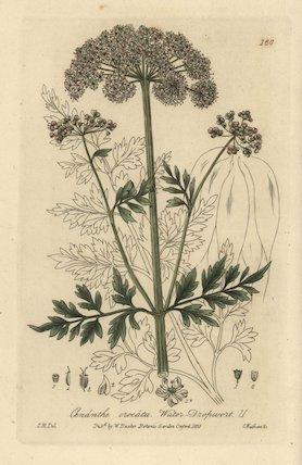 Water dropwort Oenanthe crocata