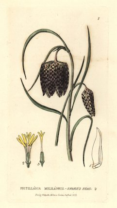 Snake's head fritillary, Fritillaria meleagris