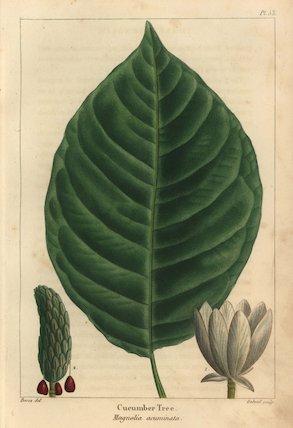 Cucumber tree, Magnolia acuminata