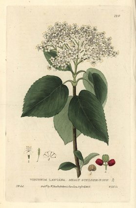 Mealy guelder rose Viburnum lantana