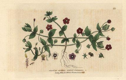 Scarlet pimpernel, Anagallis arvensis