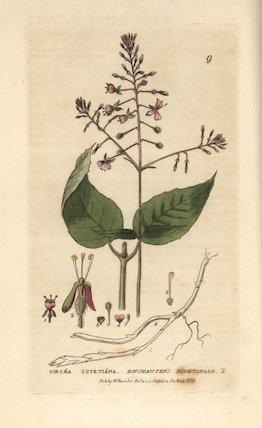 Enchanter's nightshade, Circaea lutetiana