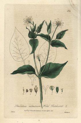 Wood stitchwort Stellaria nemorum