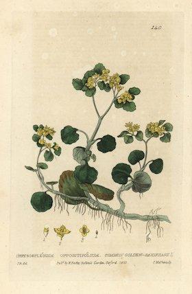 Common golden saxifrage Chryosplenium oppositifolium