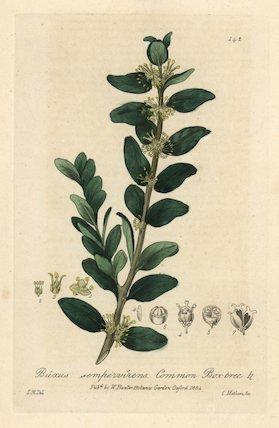 Box tree Buxus sempervirens