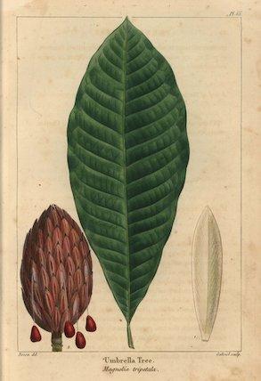Umbrella tree, Magnolia tripetala