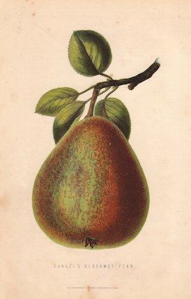 Ripe fruit and leaves of Gansel's bergamot pear, Pyrus persica.
