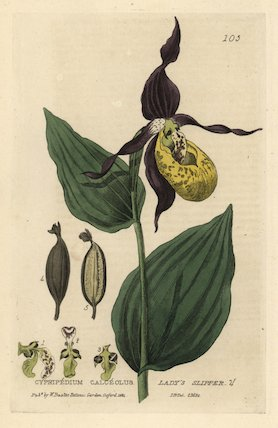Lady's slipper orchid Cypripedium calceolus