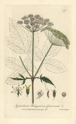 Gout-weed Agopodium podagraria
