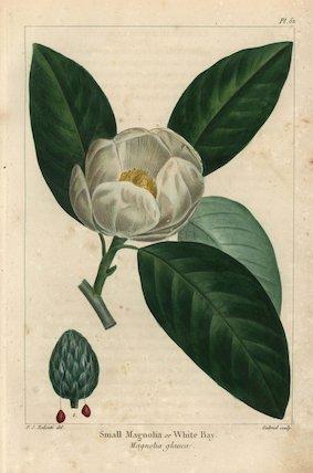 Small magnolia tree or white bay, Magnolia glauca