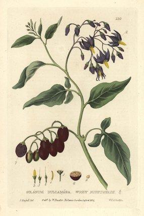 Woody nightshade Solanum dulcamara