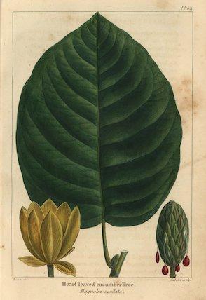 Heart leaved cucumber tree, Magnolia cordata