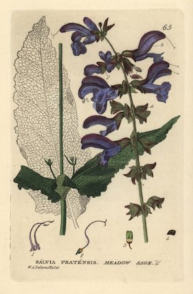 Meadow sage, Salvia pratensis