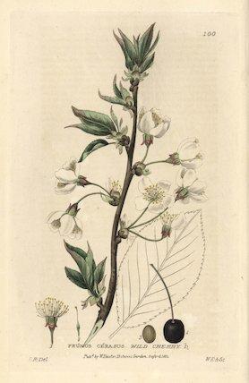 Wild cherry Prunus cerasus