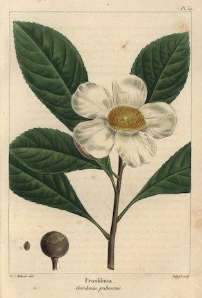 Franklinia tree, Gordonia pubescens