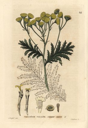 Common tansy, Tanacetum vulgare