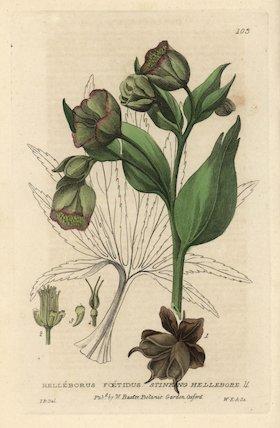 Stinking hellebore Helleborus foetidus