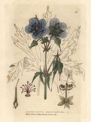 Meadow crane's bill or cranesbill, Geranium pratense