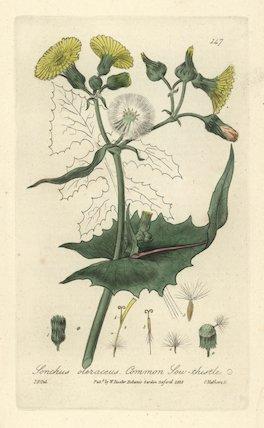 Sow-thistle Sonchus oleraceus