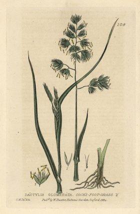 Cock's foot grass Dactylis glomerata