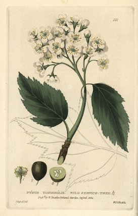 Wild service tree Pyrus torminalis