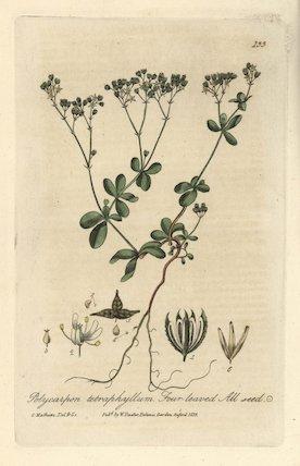 Four leaved all-seed Polycarpon tetraphyllum