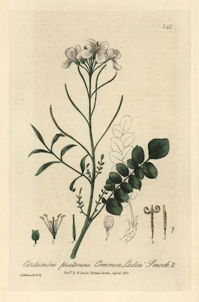 Ladies' smock Cardamine pratensis