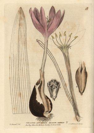 Meadow saffron, Colchicum autumnale