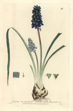 Starch grape-hyacinth Muscari racemosum