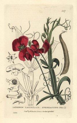 Everlasting pea Lathyrus latifolius