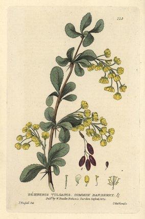 Common barberry Berberis vulgaris