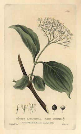Wild cornal Cornus sanguinea