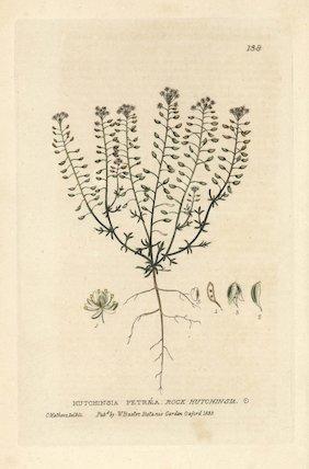 Rock hutchinsia Hutchinsia petraea