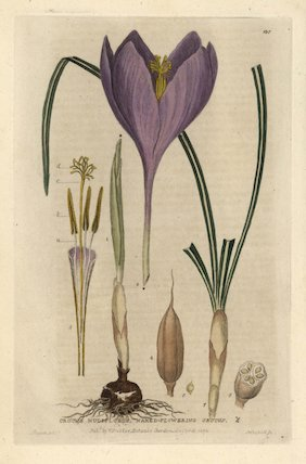 Naked-flowering crocus Crocus nudiflorus