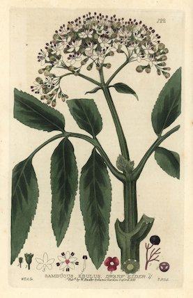 Dwarf elder tree Sambucus ebulus