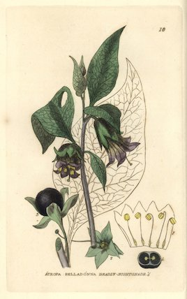 Deadly nightshade, Atropa belladonna