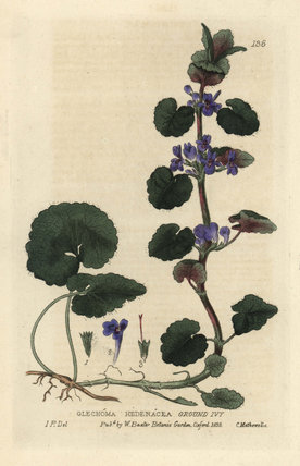 Ground ivy Glechoma hederacea